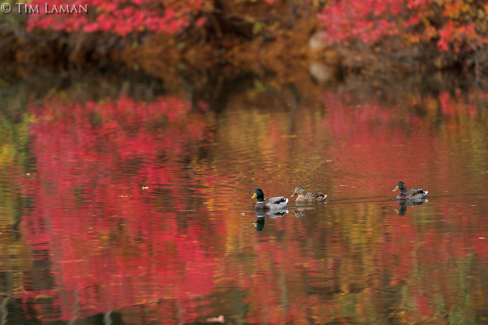 Mallards swimming on Walden Pond.