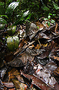 South American Common Toad (Rhinella margaritifera)<br /> Yasuni National Park, Amazon Rainforest<br /> ECUADOR. South America<br /> HABITAT & RANGE: Rainforests of Bolivia; Brazil; Colombia; Ecuador; French Guiana; Guyana; Panama; Peru; Suriname and Venezuela