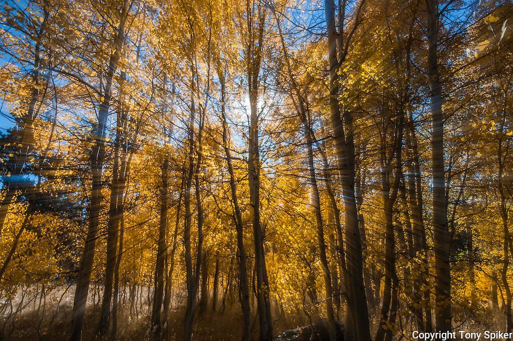 """Fall Aspens 4"" - A photograph off fall aspens in South Lake Tahoe"