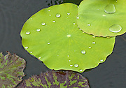 Lilypad with Raindrops