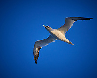 Northern Gannet in the Morning. Image taken with a Nikon D800 camera and 70-300 mm VR lens (ISO 800, 300 mm, f/5.6, 1/2000 sec).