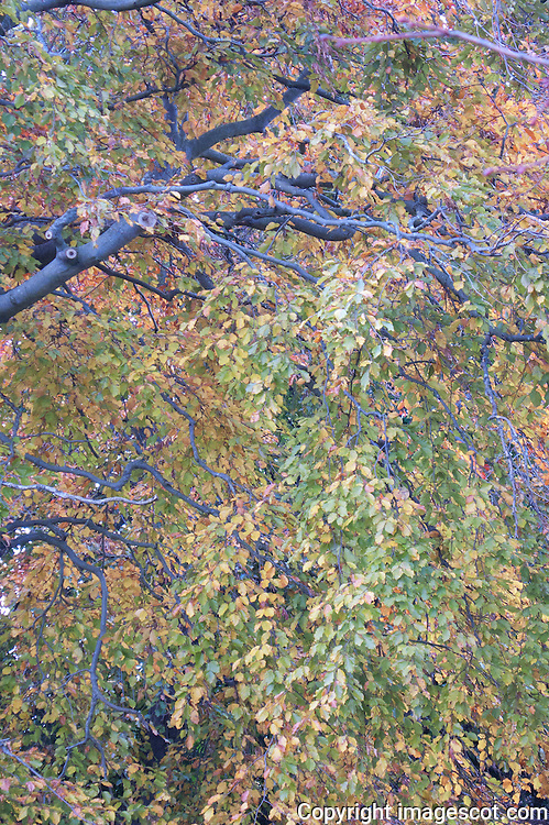 Autumn colours, Beech leaves