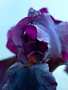 Iris 'Langport Wren' - intermediate bearded iris