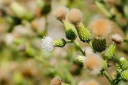 Akkerdistel, Cirsium arvense