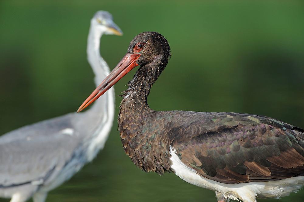 Mission: Black Storks River Elbe Germany; Biosphärenreservat Niedersächsische Elbtalaue; Biosphere Reserve Middle Elbe; Graureiher; Grey Heron; Ardea cinerea; Schwarzstorch; Ciconia nigra; Black Stork; adult