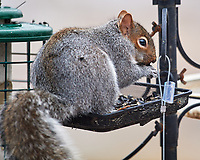 Grey Squirrel raiding the bird feeder. Image taken with a Nikon D5 camera and 600 mm f/4 VR lens