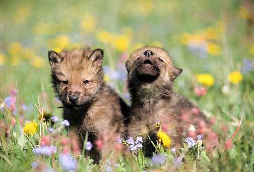 Gray Wolf, (Canis lupus) Pups in field of wild flowers howling during spring in Southwest Montana. Captive Animal.