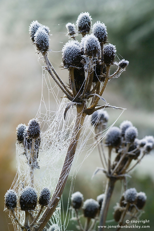 Hoar frost on the seedheads of Eryngium agavifolium