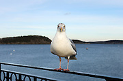 A Herring Gull studies the camera on the Town Pier, Bar Harbor, Maine.