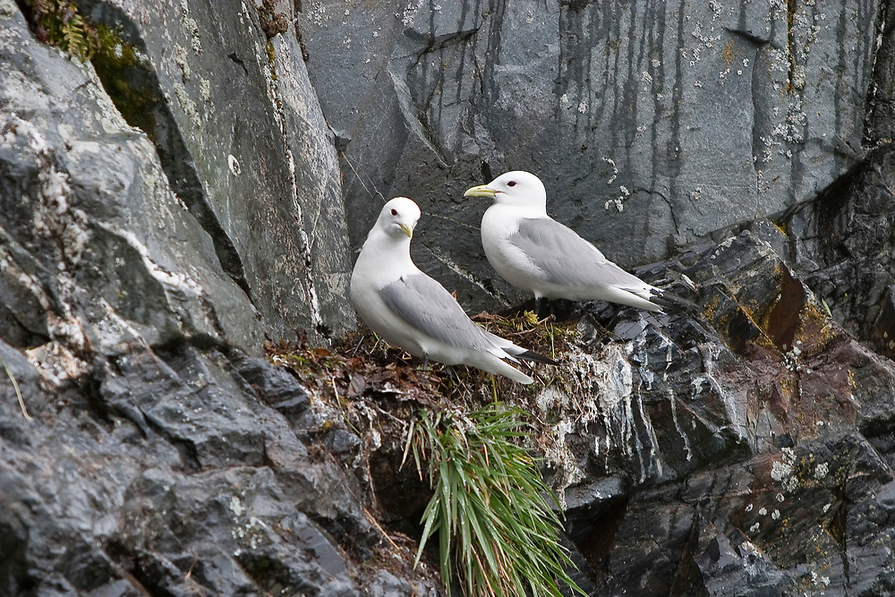 USA, Alaska, Prince William Sound.  Two Black-legged Kittiwakes (Rissa brevirostris) at a rookery on steep rocky cliffs, one on a nest and another nearby in May.