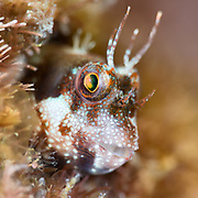 Close-up profile photo of a spotted and barred blenny (Mimoblennius atrocinctus), emphasizing the fish's cute expression