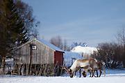 Reindeer herd in the snow in arctic landscape at Kvaløysletta, Kvaloya Island, Tromso in Arctic Circle Northern Norway