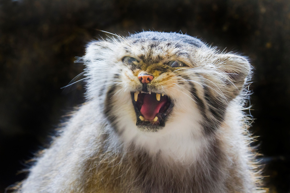 Another shot of a Pallas Cat, a wild species from Asia.