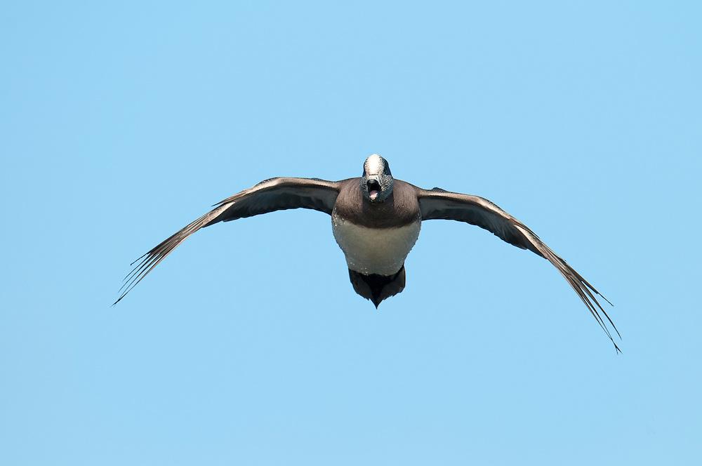 American Wigeon, Anas americana, male, Harsen's Island, Michigan