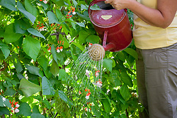 Watering runner bean flowers to help them set - Phaseolus coccineus.