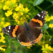 Red Admiral, Vanessa atalanta feasting on Common Wintercress, Barbarea vulgaris, a member of the Mustard Family.