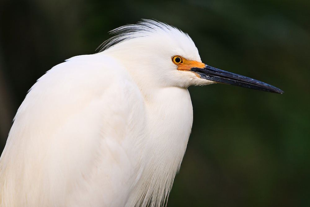 Close-up portrait of a wild roosting snowy egret (Egretta thula) at a rookery in a natural swamp exhibit at the St. Augustine Alligator Farm, Anastasia Island, St. Augustine, Florida