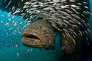 Endangered Goliath Grouper, Epinephelus itajara, congregate on deep shipwrecks along Florida's East coast during the spawning season in August and September. The giant fish are often accompanied by Cigar Minnows, Decapterus punctatus.