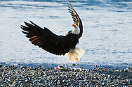 A bald eagle (Haliaeetus leucocephalus) flips on its back in mid air to get its talons up to defend against an attack from another eagle  trying to steal its chum salmon along the banks of the Chilkat River in the Chilkat Bald Eagle Preserve near Haines in Southeast Alaska. Winter. Afternoon.
