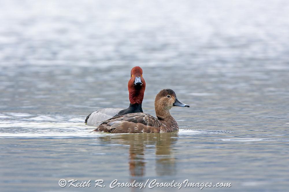 Drake Redhead in Breeding Plumage