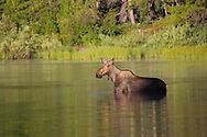 Moose in a Fishercap Lake Glacier National Park, Montana