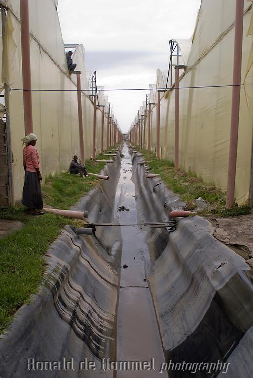 Canal d'évacuation d'eau non utilisée qui se déverse dans le lac Ziway en bordure des serres. Ferme AQ Roses, entreprise familiale dirigée par le néerlandais Wim Ammerlaan et ses deux fils, Wim (27 ans) et Frank (29 ans). Ils ont lancé AQ Roses en 2006 en Ethiopie pour concurrencer le manque d'espace et le coût d'une telle entreprise en Hollande. Ils louent 38 hectares à Gerrit Barnhoorn (Sher) lui-même propriétaire de 400 hectares en bordure du lac Ziway. AQ Roses produit près de 100 million de fleurs par an et surtout des roses. Leurs clients principaux sont la Hollande, l'Allemagne et la Scandinavie. Ziway, Ethiopie.