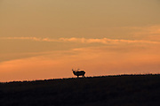 A large bull elk bugles while silhouetted against a beautiful western sunrise.