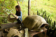 A young visitor examines the remains of giant galapagos tortoise (Geochelone elephantopus) shells in the highlands of Santa Cruz Island, Galapagos Archipelago - Ecuador.