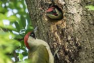Apr/May/June 2018 - Green Woodpeckers & Little Owl in Peckham Rye Park