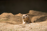 Prairie dog in its burrow in an animal enclosure.