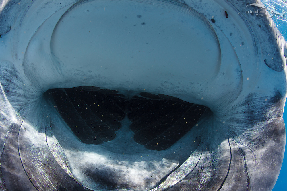 The wide-open mouth of a whale shark (Rhincodon typus) feeding in a bonito spawning event off of Isla Mujeres, Mexico