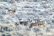 Herd of mule deer during the fall rut in Wyoming