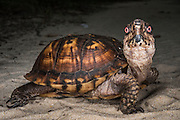 Common box turtle (Terrapene carolina)<br /> CAPTIVE<br /> The Orianne Indigo Snake Preserve<br /> Telfair County, Georgia<br /> USA<br /> HABITAT & RANGE: Open woodlands, marshy meadows, floodplains, scrub forests and brushy grasslands of eastern USA to Mexico