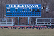 Middletown, New York - Crows gather on the grass at the Faller Field Athletic Complex on the way to roosting in nearby trees at twilight on March 2, 2017.
