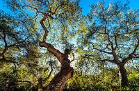 Trees, Santa Barbara, California USA.