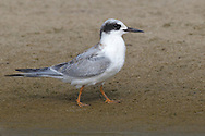 Forster's Tern - Sterna forsteriIn - transition from juvenile to 1st winter