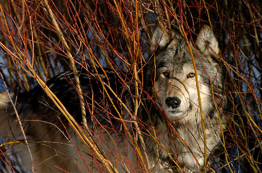 Gray Wolf (Canis lupus) Hidding behind willows. Montana. Winter.  Captive Animal.