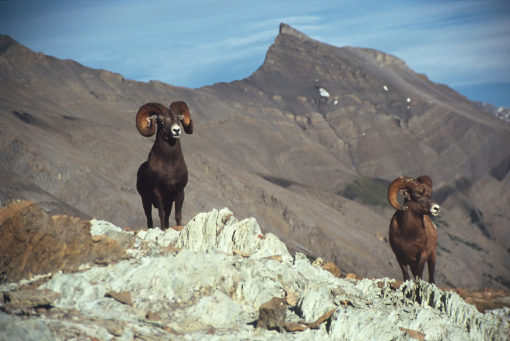 Two Rocky Mountain Bighorn Sheep (rams) stand their ground in the alpine country of Wilcox Pass in Jasper National Park in Alberta, Canada.  Summer. Afternoon.