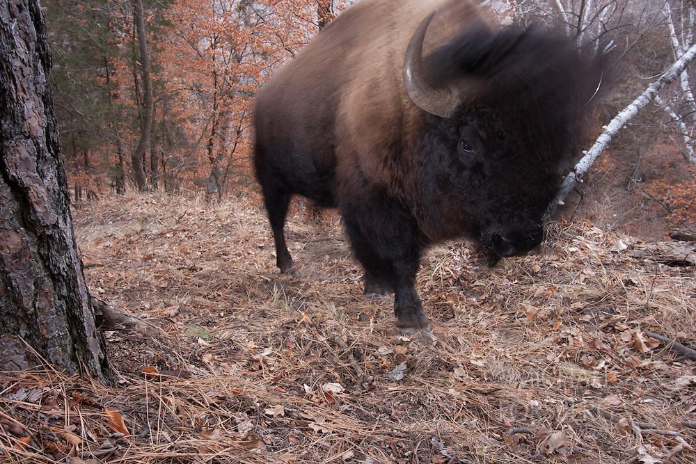 Nebraska Sandhills, Niobrara Scenic Riverway, Niobrara Valley Preserve (TNC)<br /> <br /> Bison bull  walking up game trail from river bottom.