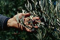 ca. 1990s, Les Baux-de-Provence, France --- Harvester Picking Olives from Branch --- Image by © Owen Franken/CORBIS