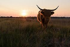 Highland catlle, Schotse hooglander, koe, cow, Bos taurus