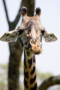 (Giraffa camelopardalis) A female can be identified by the tufts of hair on their ossicones (horns). Arusha National Park, Tanzania.
