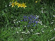 SPRING FLOWERS ON A SIDE HILL, HAYSTACK  MT, VT