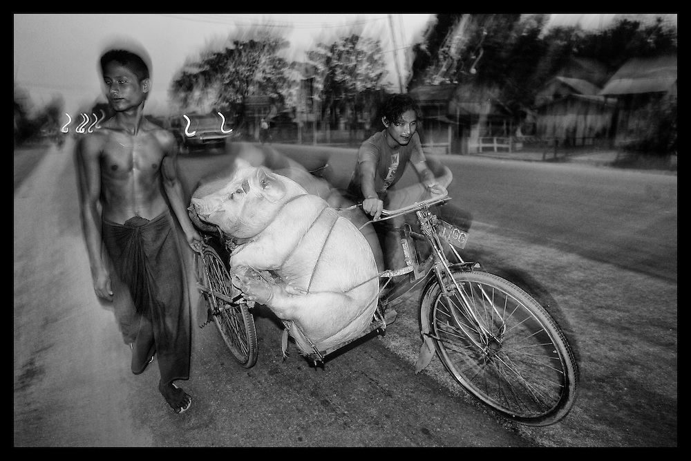 Young men from Myanmar transport a hog to market using a bicycle taxi.