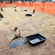 Birds kept by members of the Texas Hawking Association sit on perches in the weathering yard outside of the Whitten Inn on Hwy. 80 in Abilene, TX while the falconers eat lunch inside.