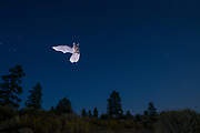 Wild bat (myotis sp.) flying at night in Central Oregon. © MIchael Durham