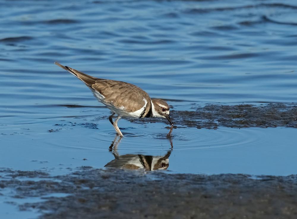 Killdeer (Charadrius vociferus) on the mud flats, Bayonne, New Jersey