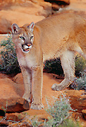 350103-1054 ~ Copyright: George H. H. Huey ~ Mountain lion [Puma concolor or Felis concolor]. Also known as cougar or puma. In high desert of the Colorado Plateau. Near Zion National Park, Utah.