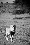 A large male Lion walks as the wind blows through his mane.  Kgalagadi, South Africa.