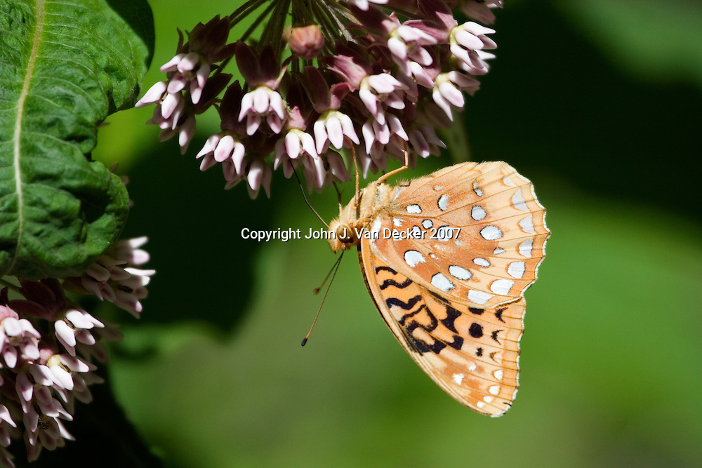 Great Spangled Fritillary Butterfly with wings folded